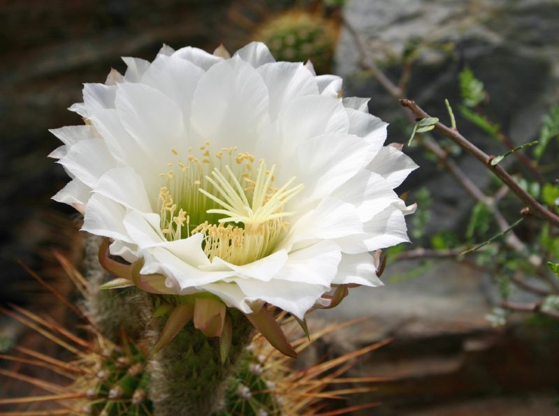 matthias ott Echinopsis chiloensis Trichocereus chiloensis flower