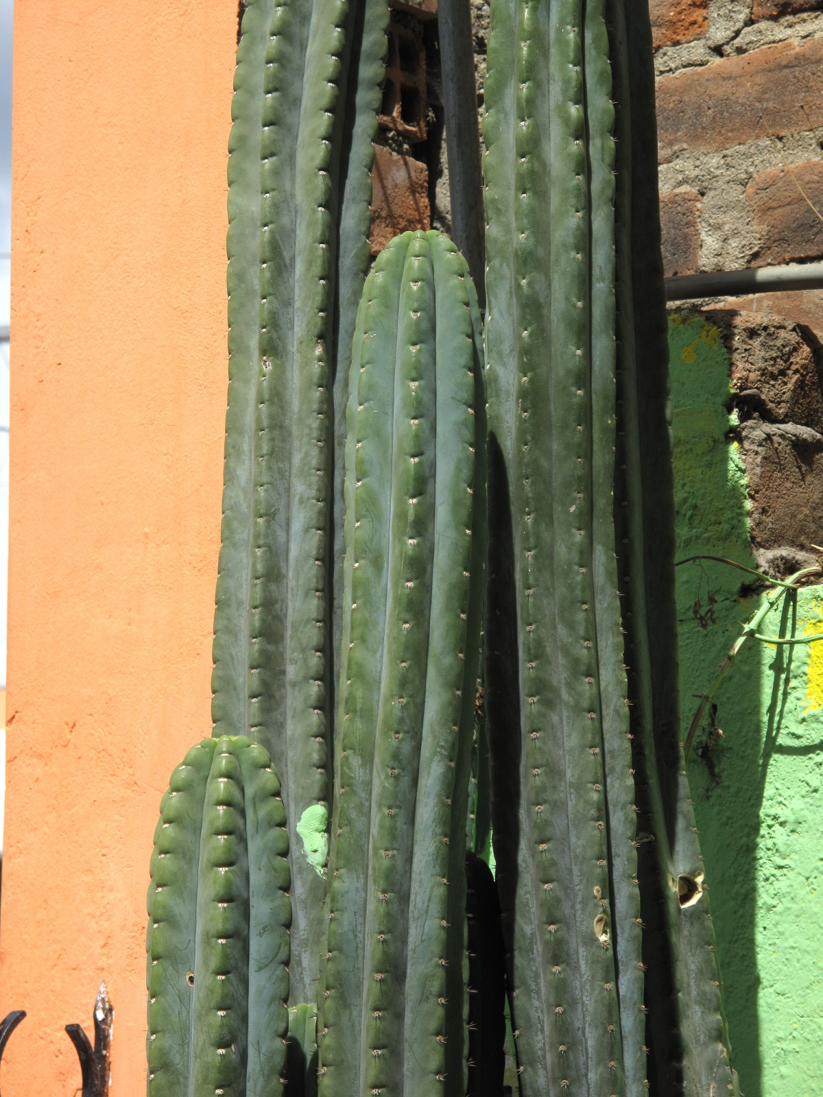 Trichocereus pachanoi Clone Two 2