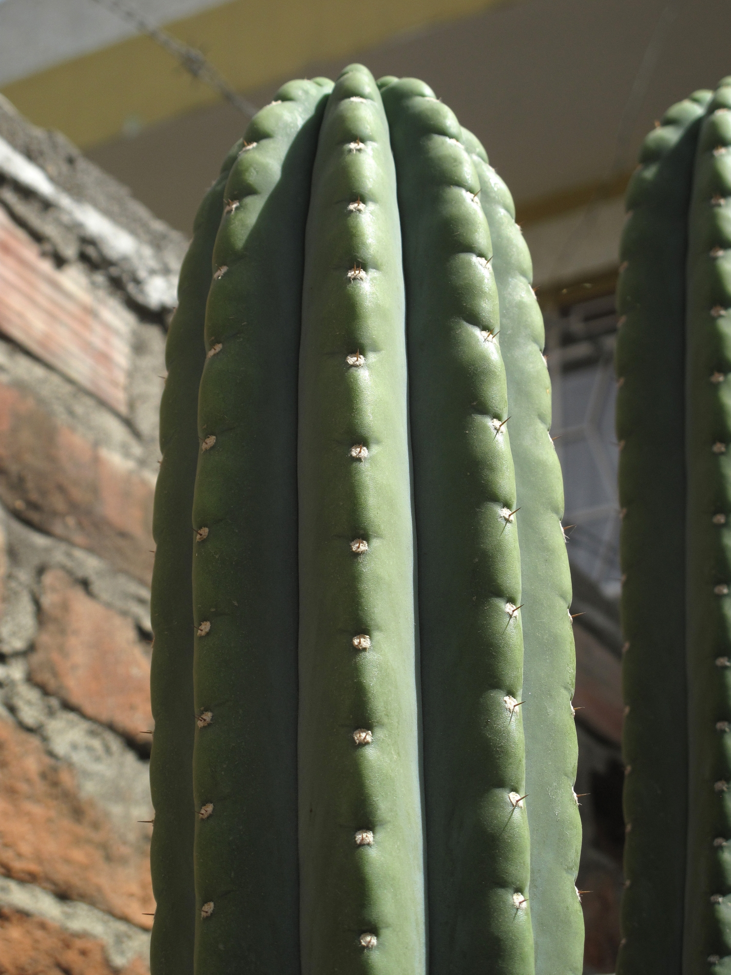 Trichocereus pachanoi Clone Two