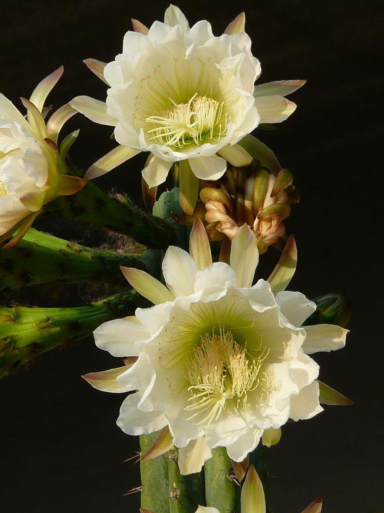 Flowers of Trichocereus pachanoi Echinopsis flowering cactus