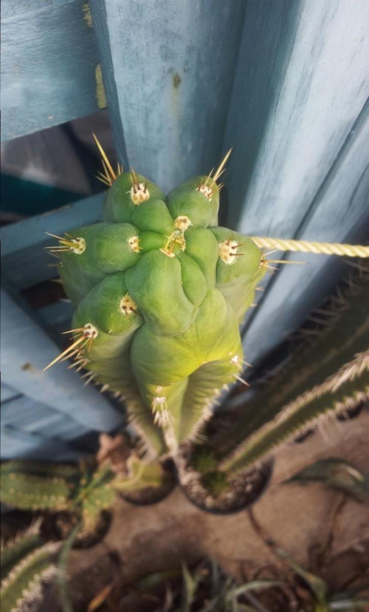 Trichocereus knuthianus Echinopsis knuthiana 68