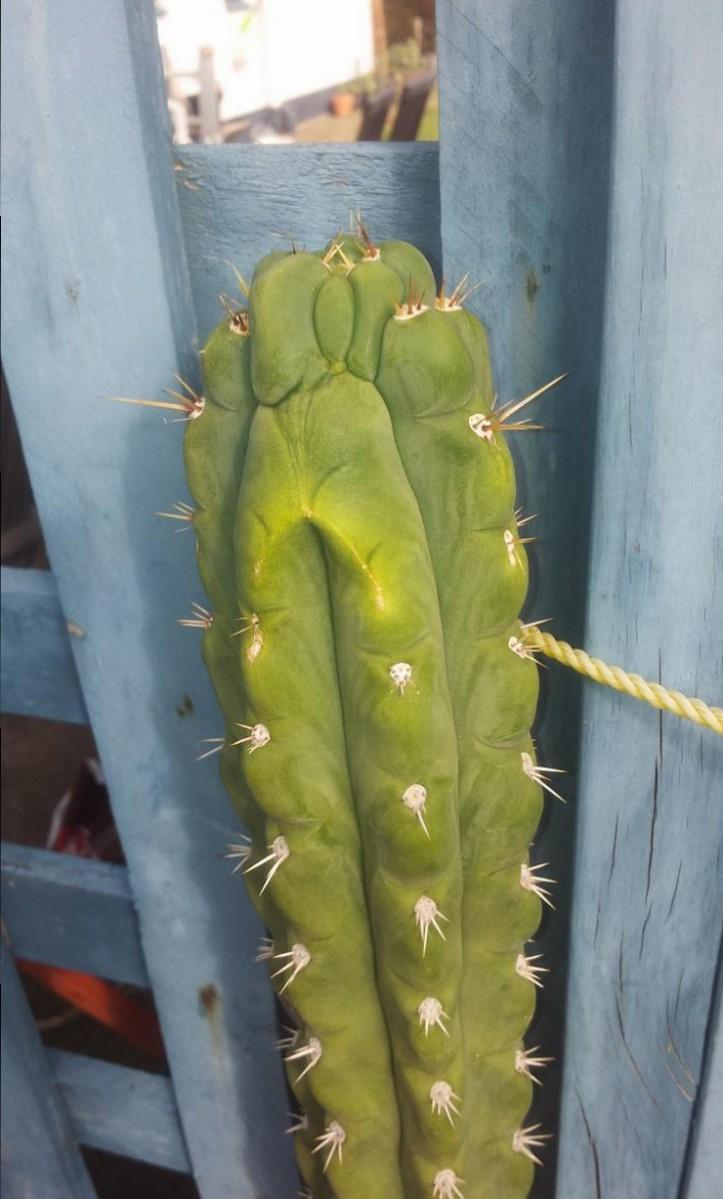 Trichocereus knuthianus Echinopsis knuthiana 65