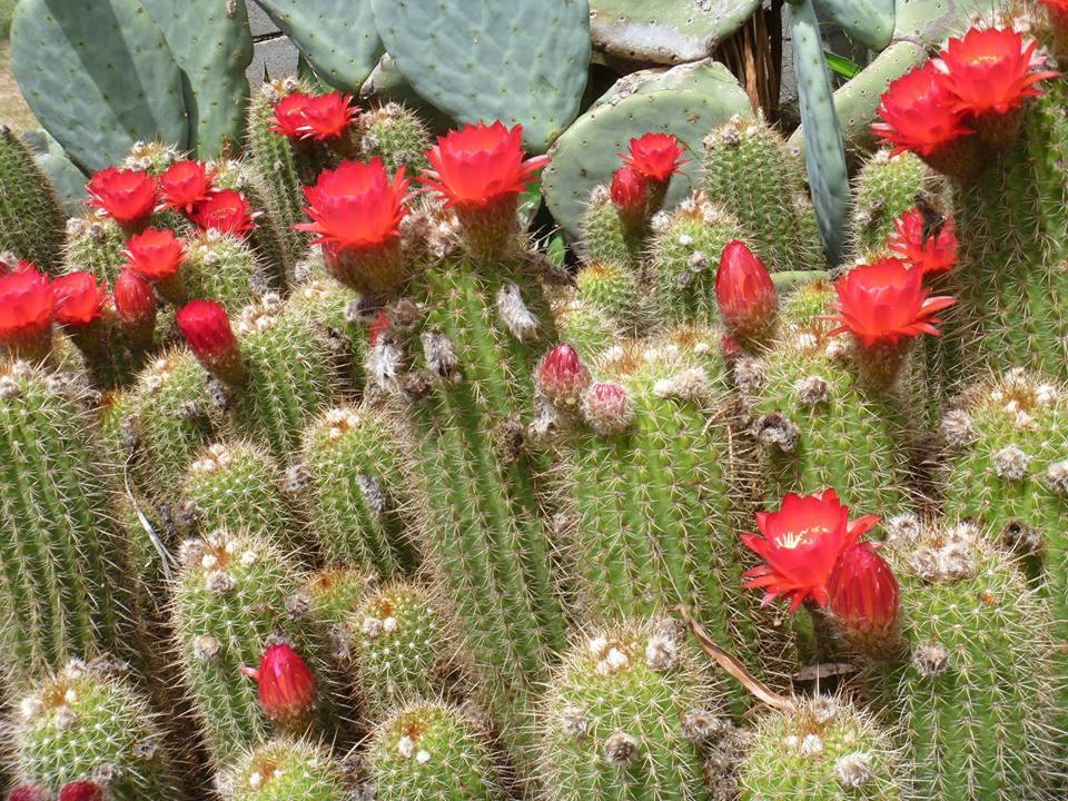 Trichocereus huascha Red hybrid Seeds Samen