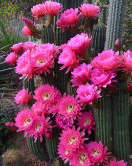 Premium Trichocereus Seeds / Trichocereus Samen