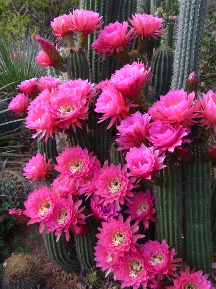 Trichocereus sp. Schick Pink Seeds Hybrid