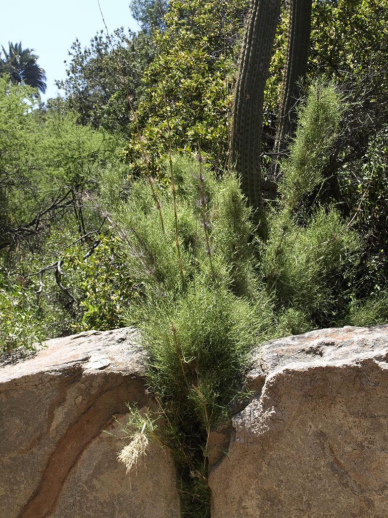 Echinopsis chiloensis Trichocereus chiloensis scott zona