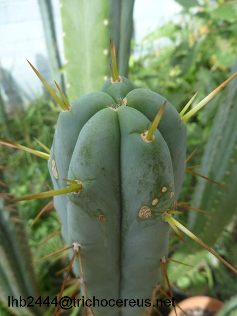Trichocereus bridgesii Psycho0 Echinopsis lageniformis 2