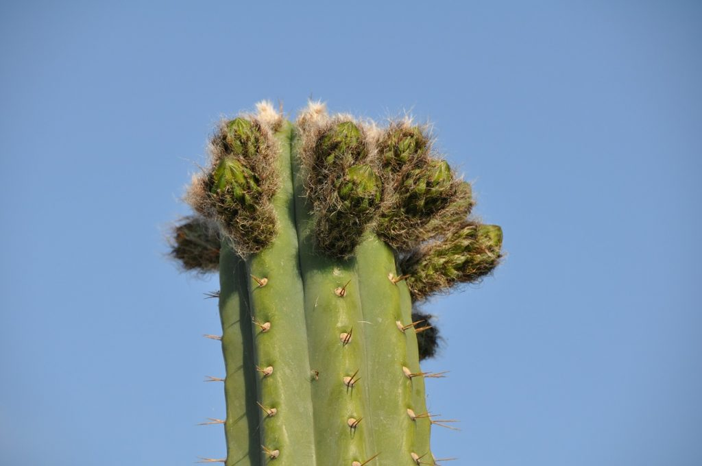 trichocereus Peruvianus misplant Echinopsis peruviana photo Peru-4