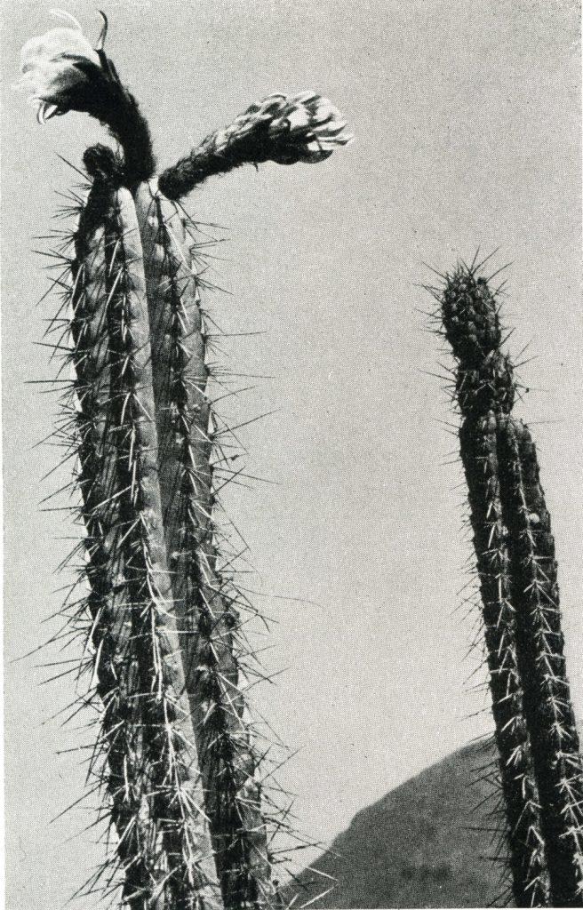 trichocereus chalaensis004