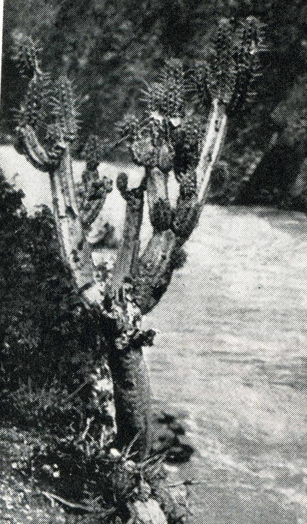 Trichocereus knuthianus Echinopsis knuthiana FR 677 Ritter 2