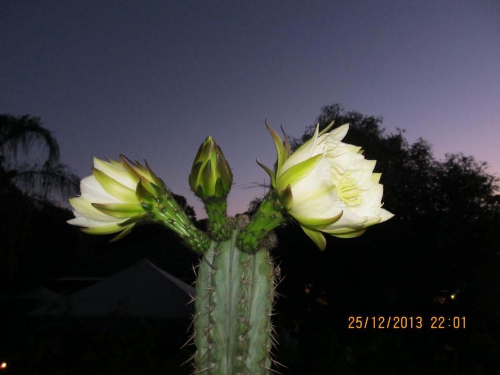 trichocereus macrogonus Echinopsis macrogona flower