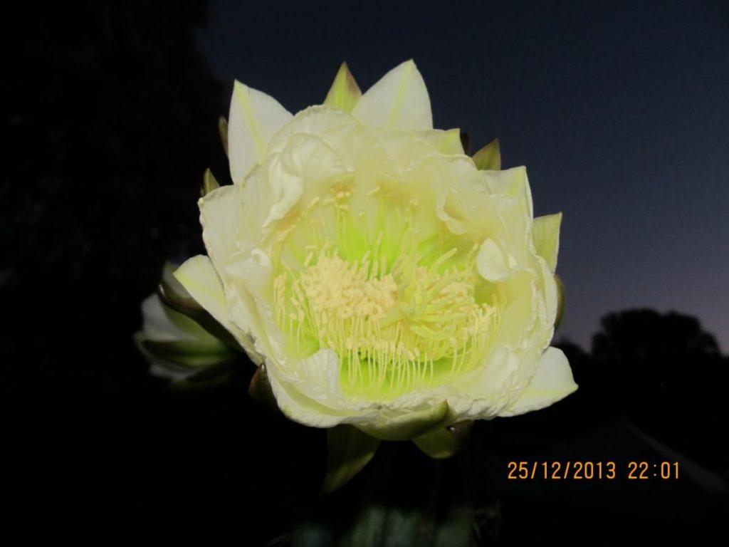 trichocereus macrogonus Echinopsis macrogona flower 3