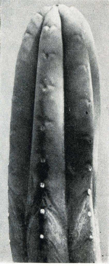 trichocereus pachanoi Echinopsis pachanoi Curt backeberg