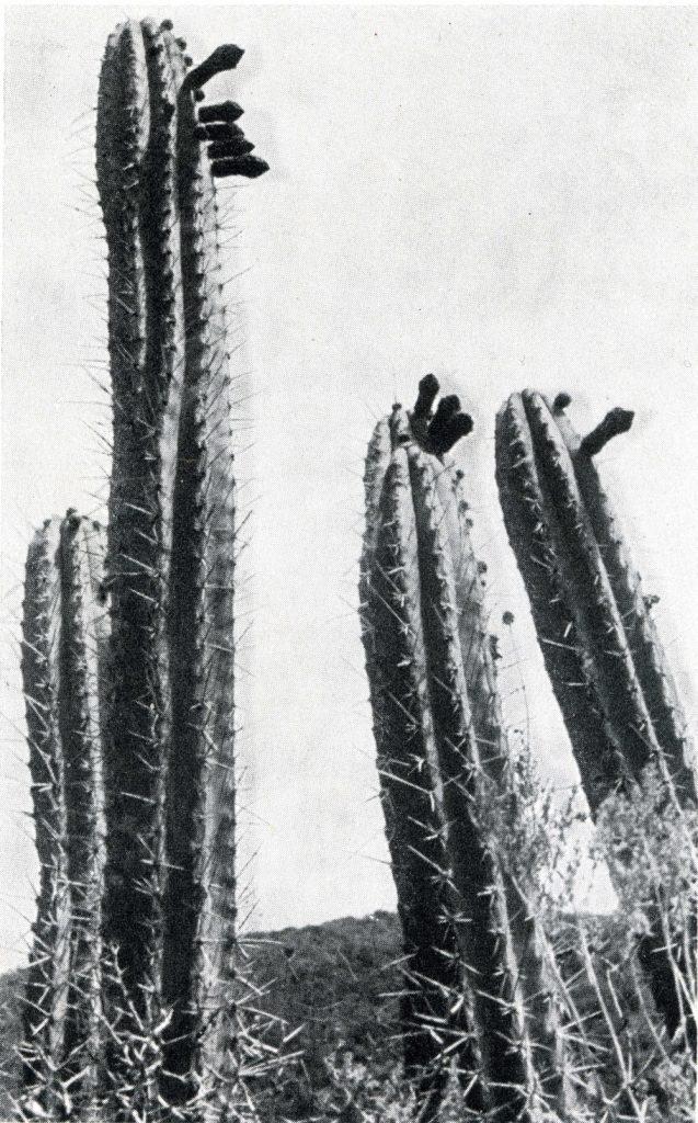 trichocereus puquiensis005