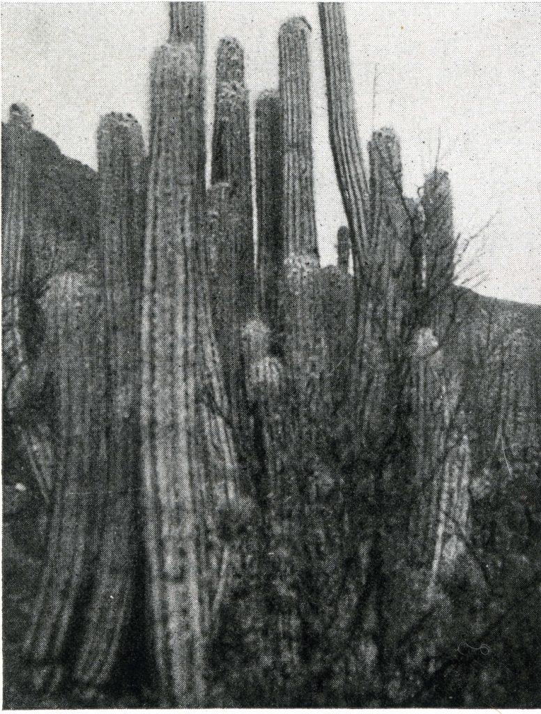 trichocereus tacaquirensis017