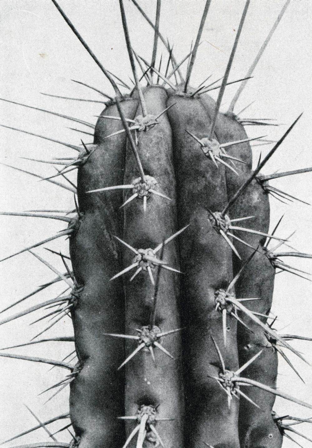 Backeberg´s photo Echinopsis tarmaensis Tarma Trichocereus tarmaensis