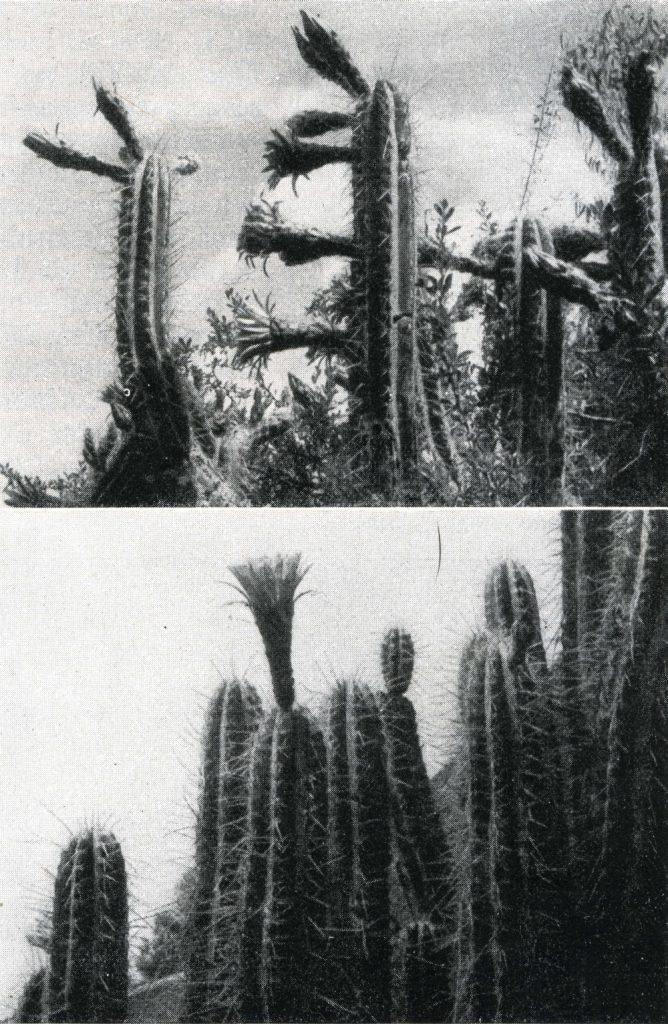 trichocereus tulhuyacensis010