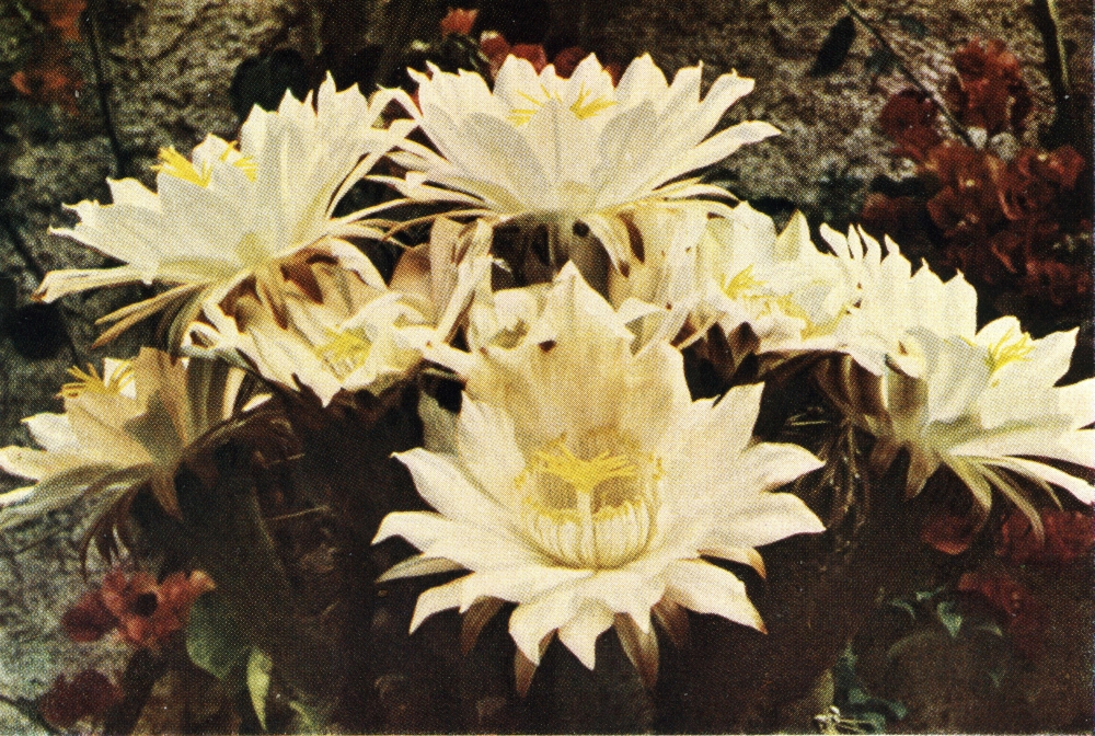trichocereus validus flower008
