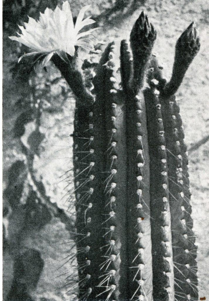 trichocereus validus006