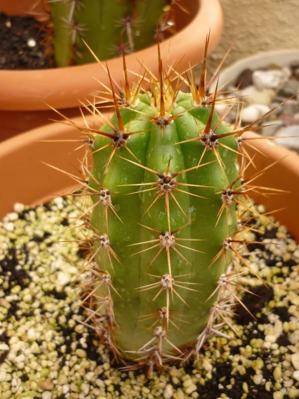 Trichocereus werdermannianus Echinopsis werdermanniana KK1094 mutant