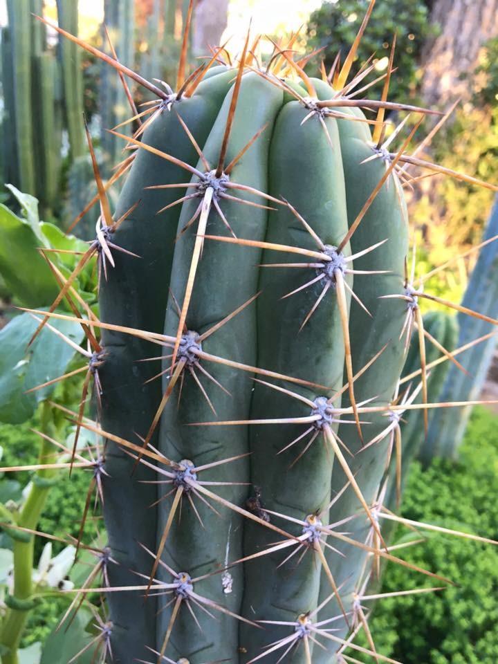 Trichocereus werdermannianus / Echinopsis werdermanniana Tricho Nest 2